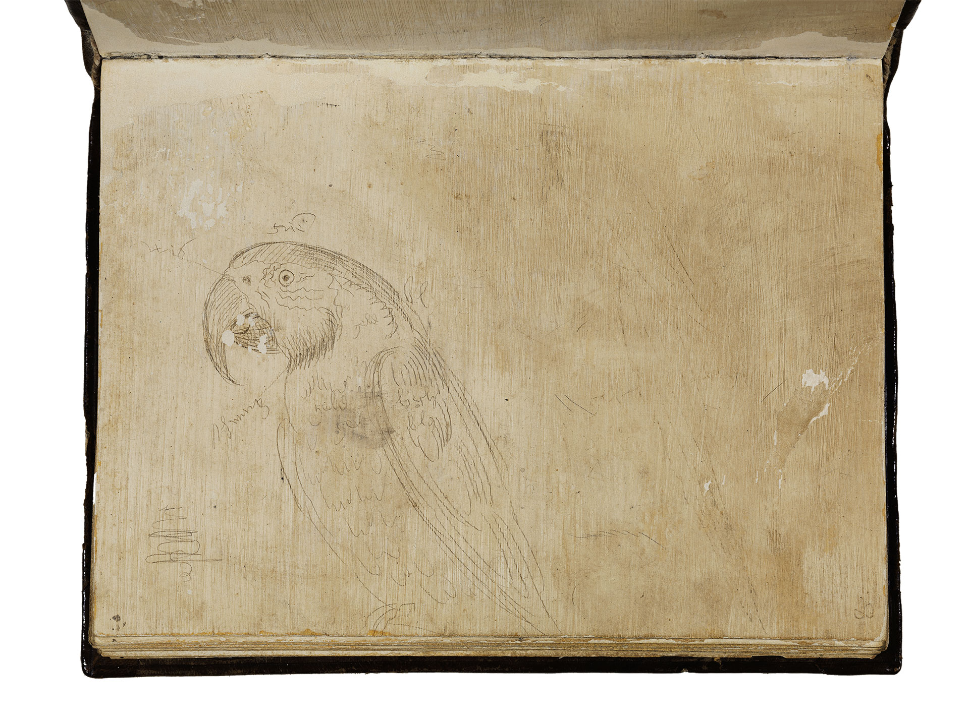 Image of a drawing of a Parrot by Hans Baldung Grien, taken from his Karlsruher Sketchbook.