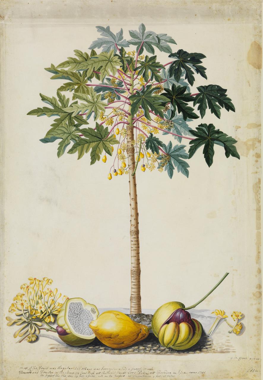 Aquarell eines Papayabaums mit der Frucht des gelernten Gärtners und Künstlers Georg Dionysius Ehret