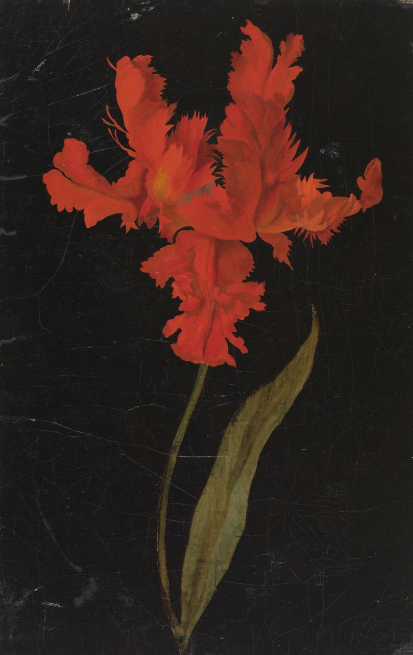 Ölzeichnung einer Papageien-Tulpe auf dunklem Hintergrund
